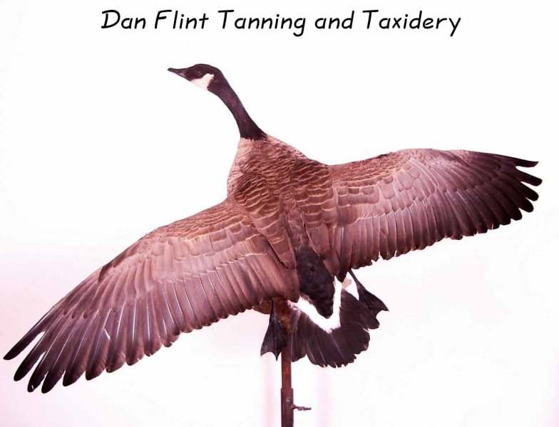 goose-dan-flint-tanning-and-taxidermy-phone-250-489-3020