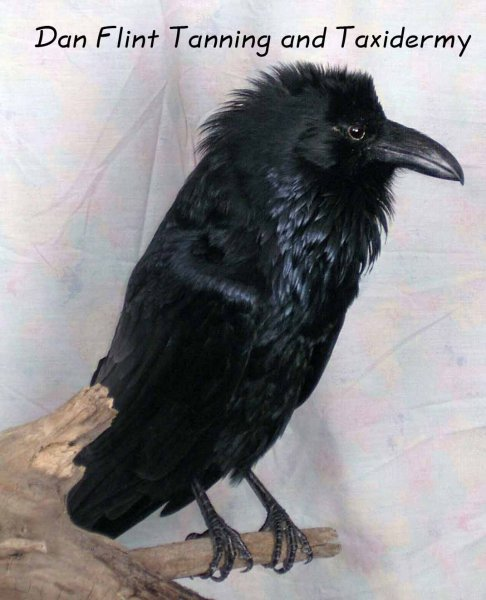 raven-dan-flint-tanning-and-taxidermy-phone-250-489-3020
