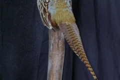 ringed-neck-pheasant-dan-flint-tanning-and-taxidermy-phone-250-489-3020