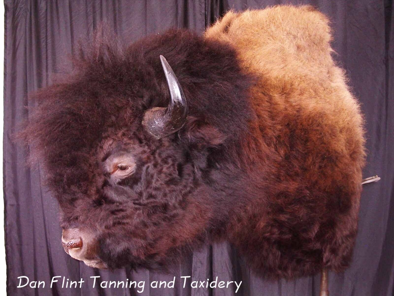 buffalo-bison-dan-flint-tanning-and-taxidermy-phone-250-489-3020