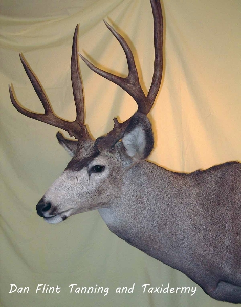 mule-deer11-dan-flint-tanning-and-taxidermy-phone-250-489-3020