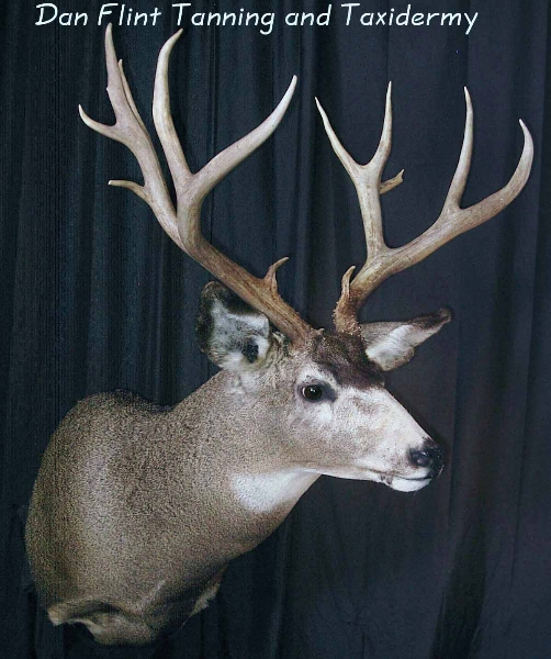 mule-deer3-dan-flint-tanning-and-taxidermy-phone-250-489-3020