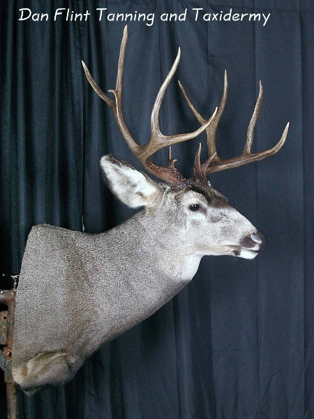 mule-deer4-dan-flint-tanning-and-taxidermy-phone-250-489-3020