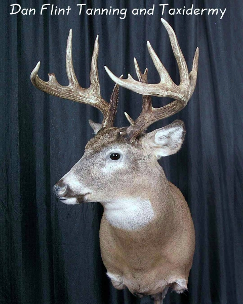 mule-deer5-dan-flint-tanning-and-taxidermy-phone-250-489-3020