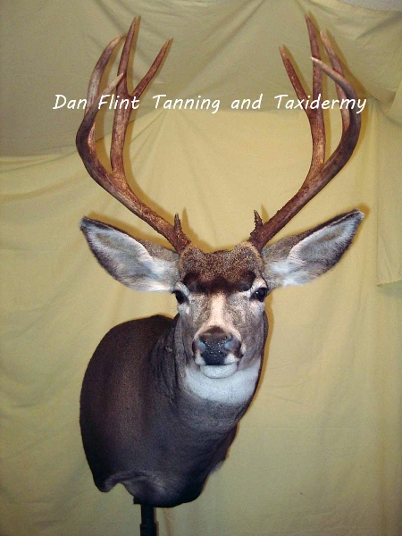 mule-deer7-dan-flint-tanning-and-taxidermy-phone-250-489-3020
