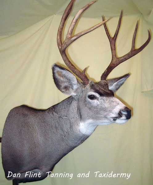 mule-deer8-dan-flint-tanning-and-taxidermy-phone-250-489-3020