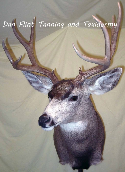 mule-deer9-dan-flint-tanning-and-taxidermy-phone-250-489-3020