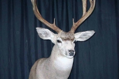 mule-deer-dan-flint-tanning-and-taxidermy-phone-250-489-3020