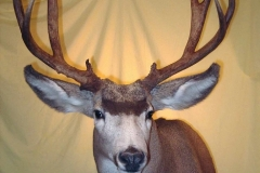 mule-deer10-dan-flint-tanning-and-taxidermy-phone-250-489-3020