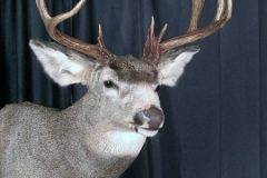 mule-deer6-dan-flint-tanning-and-taxidermy-phone-250-489-3020