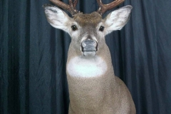 white-tail-deer5-dan-flint-tanning-and-taxidermy-phone-250-489-3020