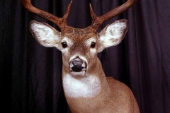 white-tail-deer6-dan-flint-tanning-and-taxidermy-phone-250-489-3020