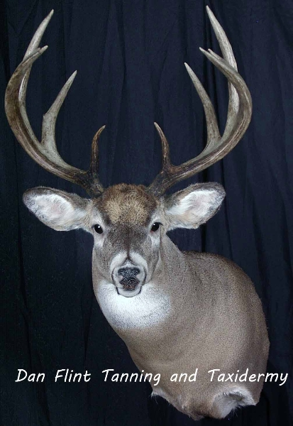 white-tail-deer10-dan-flint-tanning-and-taxidermy-phone-250-489-3020