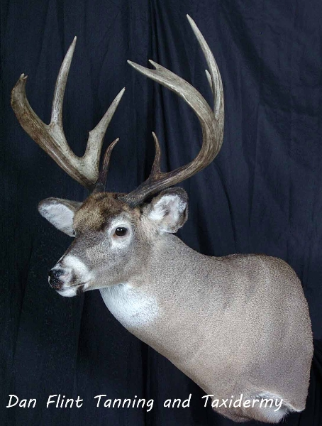 white-tail-deer11-dan-flint-tanning-and-taxidermy-phone-250-489-3020