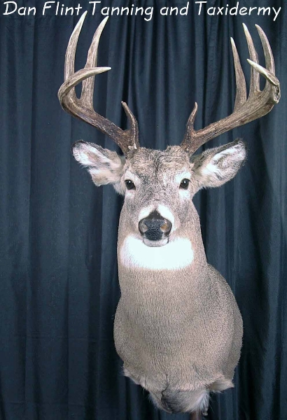 white-tail-deer2-dan-flint-tanning-and-taxidermy-phone-250-489-3020