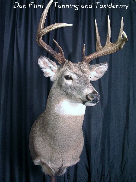 white-tail-deer3-dan-flint-tanning-and-taxidermy-phone-250-489-3020