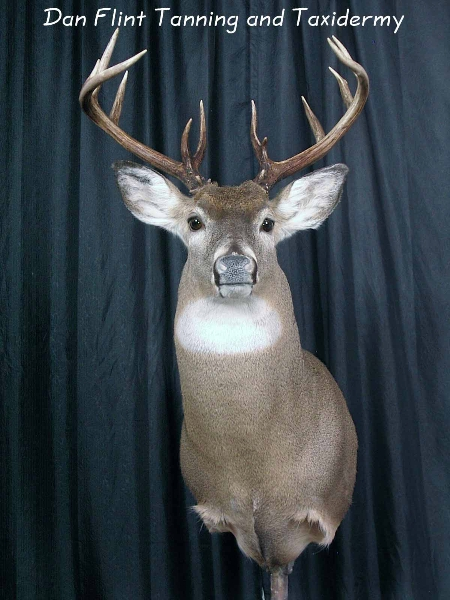 white-tail-deer5-dan-flint-tanning-and-taxidermy-phone-250-489-3020-1