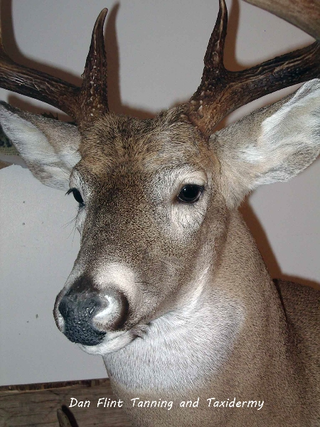 white-tail-deer9-dan-flint-tanning-and-taxidermy-phone-250-489-3020