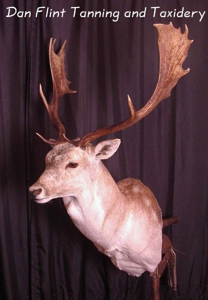 fallow-deer-dan-flint-tanning-and-taxidermy-phone-250-489-3020