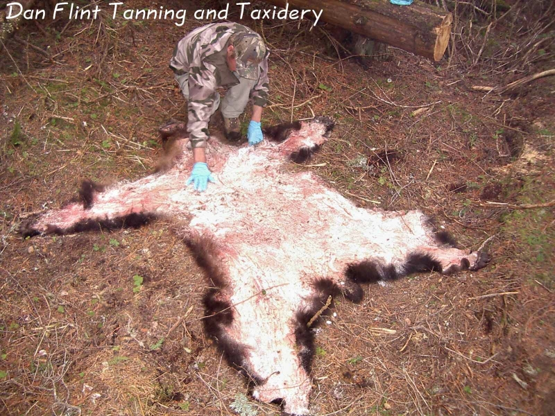 grizzly-hide-skinning-salting3-dan-flint-tanning-and-taxidermy-phone-250-489-3020