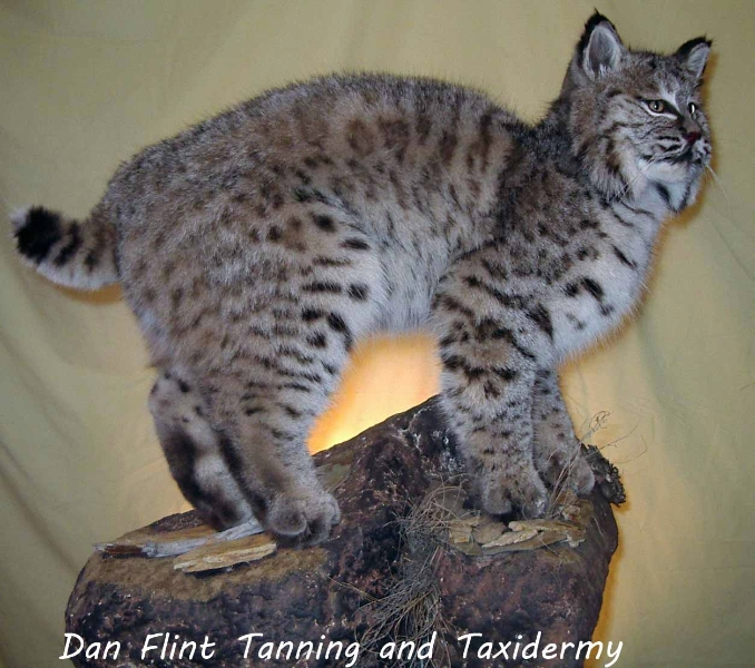 bobcat-dan-flint-tanning-and-taxidermy-phone-250-489-3020