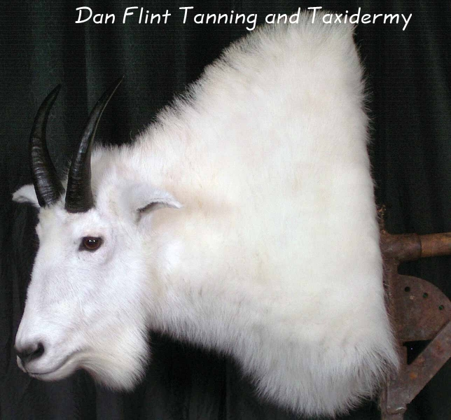 mountain-goat-dan-flint-tanning-and-taxidermy-phone-250-489-3020