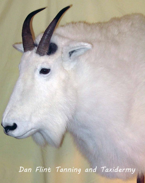 mountain-goat2-dan-flint-tanning-and-taxidermy-phone-250-489-3020