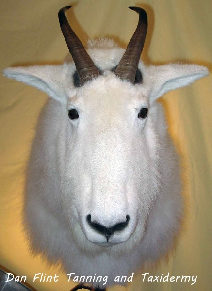 mountain-goat3-dan-flint-tanning-and-taxidermy-phone-250-489-3020