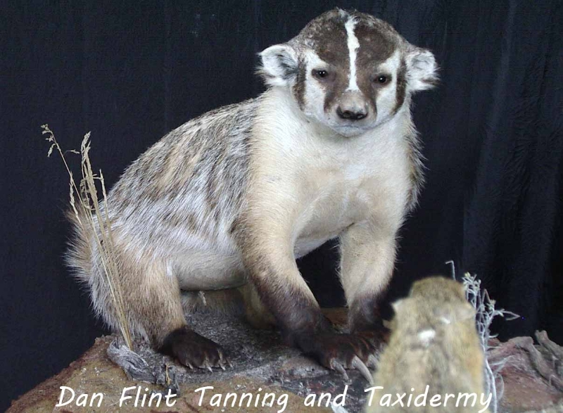 badger-dan-flint-tanning-and-taxidermy-phone-250-489-3020