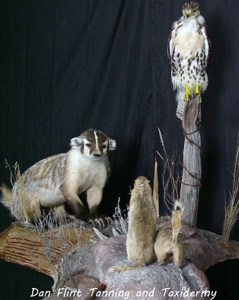 badger-hawk-richardsons-ground-squirrel-gopher1-dan-flint-tanning-and-taxidermy-phone-250-489-3020