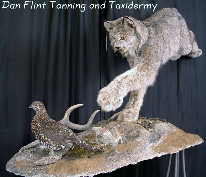 lynx-grouse-dan-flint-tanning-and-taxidermy-phone-250-489-3020