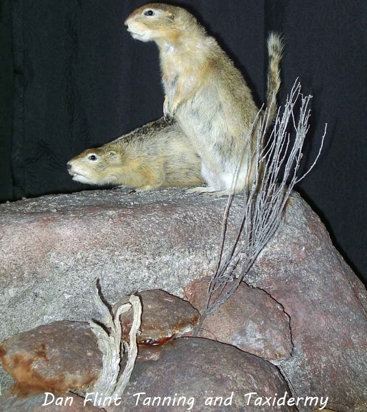 richardsons-ground-squirrel-gopher-dan-flint-tanning-and-taxidermy-phone-250-489-3020