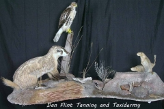 badger-hawk-richardsons-ground-squirrel-gopher-dan-flint-tanning-and-taxidermy-phone-250-489-3020