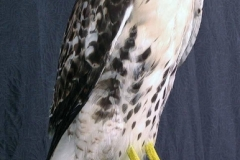 hawk1-dan-flint-tanning-and-taxidermy-phone-250-489-3020