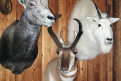 prong-horned-antelope-mountain-goat-stone-sheep-dan-flint-tanning-and-taxidermy-phone-250-489-3020