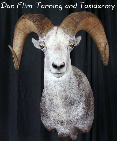 sheep-stone-dan-flint-tanning-and-taxidermy-phone-250-489-3020