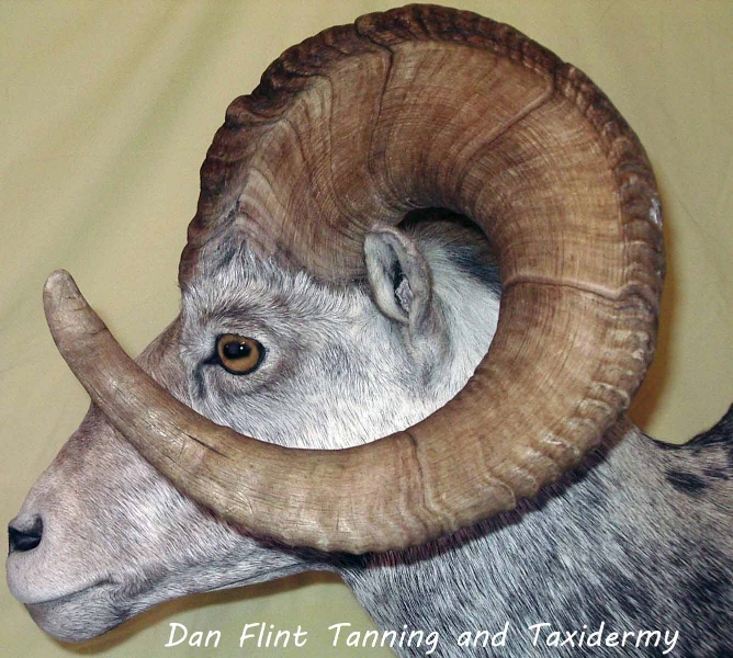 sheep-stone1-dan-flint-tanning-and-taxidermy-phone-250-489-3020