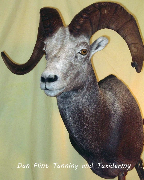 sheep-stone3-dan-flint-tanning-and-taxidermy-phone-250-489-3020