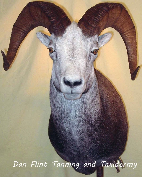 sheep-stone4-dan-flint-tanning-and-taxidermy-phone-250-489-3020