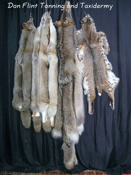 lynx-fox-wolf-pelts-dan-flint-tanning-and-taxidermy-phone-250-489-3020