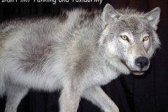 wolf3-dan-flint-tanning-and-taxidermy-phone-250-489-3020
