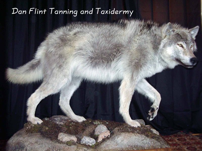 wolf-dan-flint-tanning-and-taxidermy-phone-250-489-3020